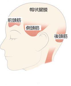 頭の筋肉2